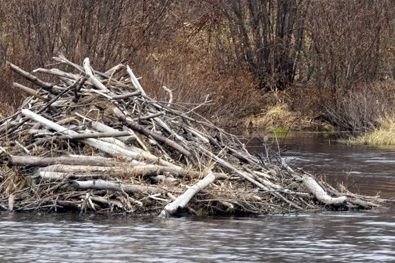 Beavers are natural builders. We'll explore their instinct to build at IRWS