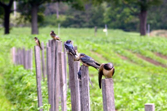 The fields at Appleton Farms provide safe habitiat for a diverse bird population