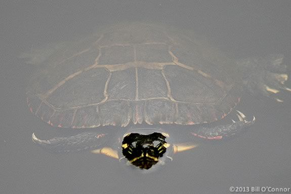 Kids will explore IRWS wetland in search of painted and snapping turtles.